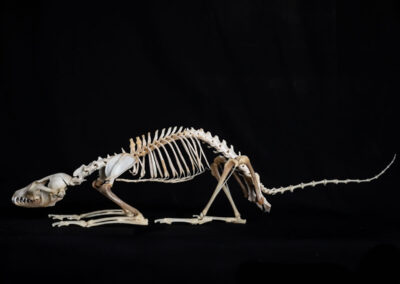 Skeletal-1