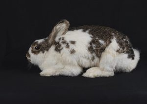 Bischoff's Pets - Rabbit Sitting/Laying